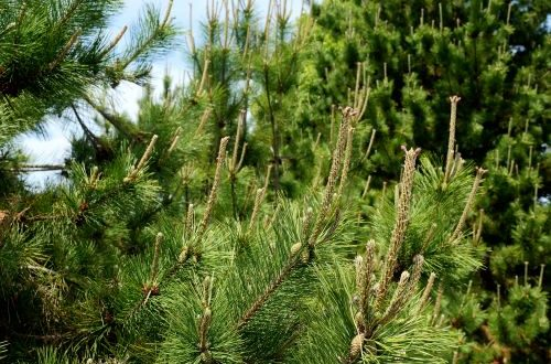 mr-tree-5-weird-trees-that-will-spice-up-your-curb-appeal-thunderhead-pine