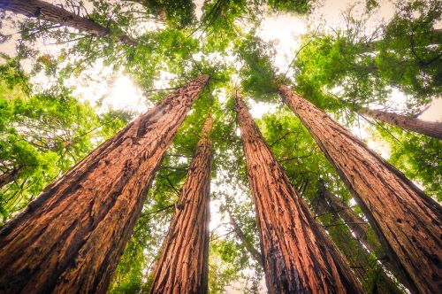 mr-tree-which-trees-have-red-wood-coast-redwood