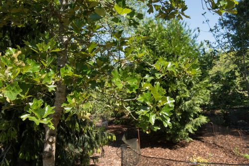 5 Small Oak Trees to Enjoy in Your Yard