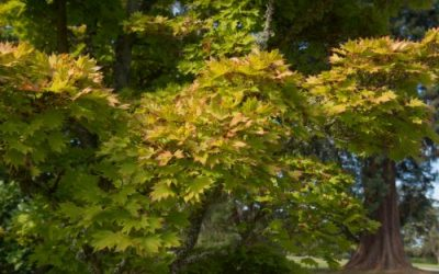 7 Japanese Maple Varieties to Beautify Your Oregon Yard