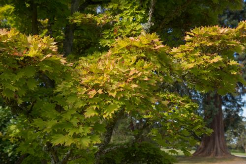 mr-tree-7-japanese-maple-varieties-to-beautify-your-oregon-yard-golden-full-moon
