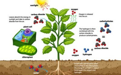 How Do Trees Make Oxygen and Improve the Environment?