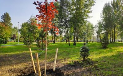 How to Transplant a Maple Tree