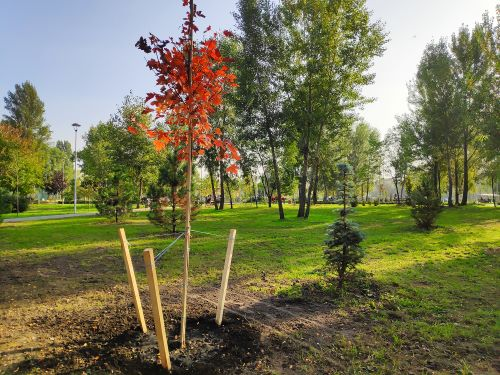 mr-tree-how-to-transplant-a-maple-tree