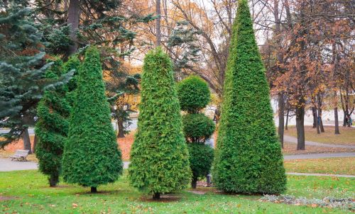 mr-tree-5-ways-to-use-arborvitae-in-your-landscaping-topiary