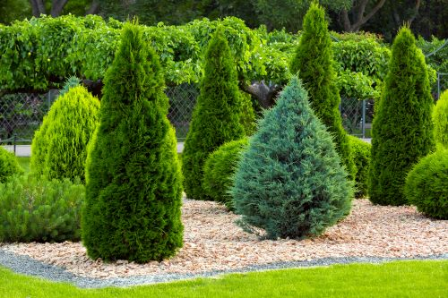 mr-tree-5-ways-to-use-arborvitae-in-your-landscaping