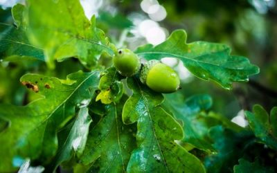 What Is the Life Cycle of an Oak Tree?