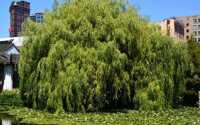 5 Willow Trees That Grow in Oregon