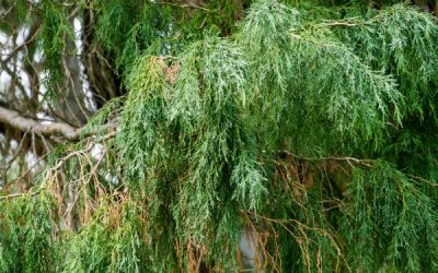 Do Cypress Trees Grow Well in the Pacific Northwest?
