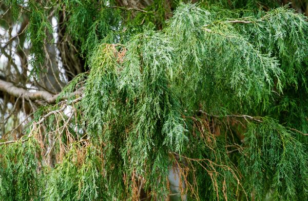 mr-tree-do-cypress-trees-grow-well-in-the-pacific-northwest
