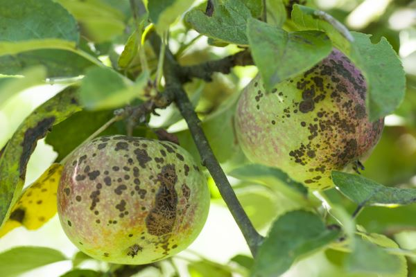 mr-tree-what-is-apple-scab-and-how-is-it-treated